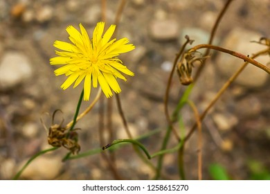 yellow dandilion flowers in brown earth in late summer