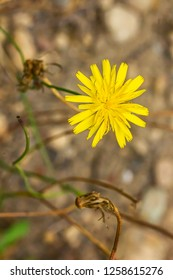 yellow dandilion flowers in brown earth in late summer 2
