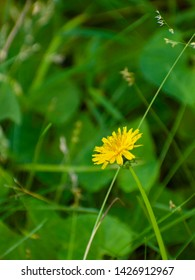 Yellow Dandilion growing against other weeds. These edible, stubborn plants grow everywhere. Picture contrast of yellow and green.