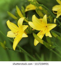 Yellow Day lily flower or Hemerocallis blooming