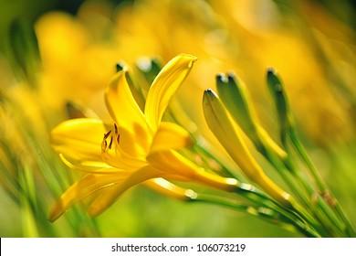 Yellow Day lily or Hemerocallis
