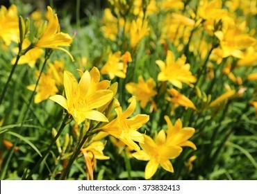 Yellow Day lily or Hemerocallis.