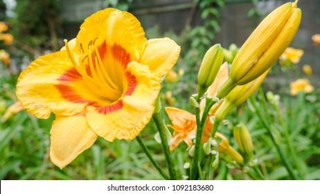 Yellow daylily flower (hemerocallis) in the summer garden