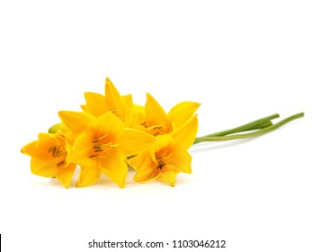 Yellow daylily flower on a white background