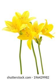 Yellow daylily on a white background
