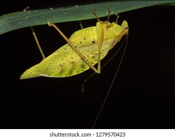 Yellow dead leaf-mimic katydid (Orophus tesselatus), Quepos, Costa Rica