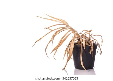 Yellow dead plant (Pandanus) in potted. Studio shot isolated on white background