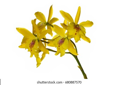Yellow dendrobium orchid flowers isolated on white background