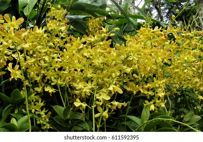 Yellow dendrobium orchids at the National Orchid Garden, Singapore