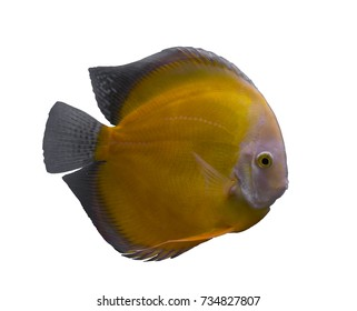 Yellow discus fish isolated in a white background