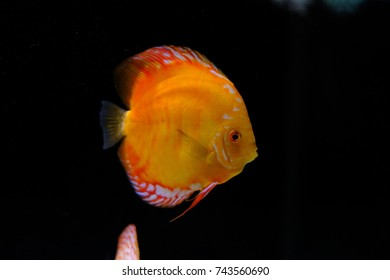 Yellow discus in tank with solid black background