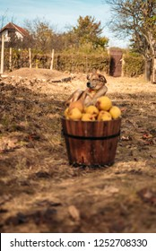 Yellow dog behind wooden pot full of yellow pears