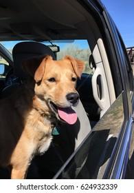 Yellow Dog in the Car Window