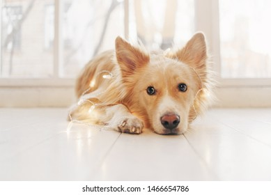 Yellow dog lying on the floor and looking at the camera on light background