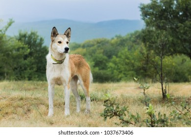 Yellow dog, in mountains, walk in wild. Travel with friend, mood of adventure, folk style.