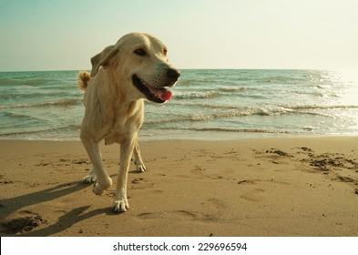 Yellow dog on the beach