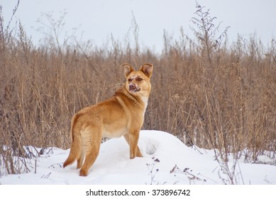 Yellow dog on a gray grass background in a field of in the snow