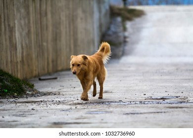 Yellow dog pet with puffy tail outdoors