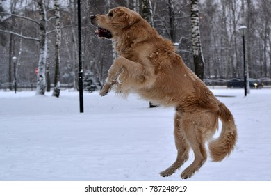 Yellow dog, retriever, jumping on the snow.