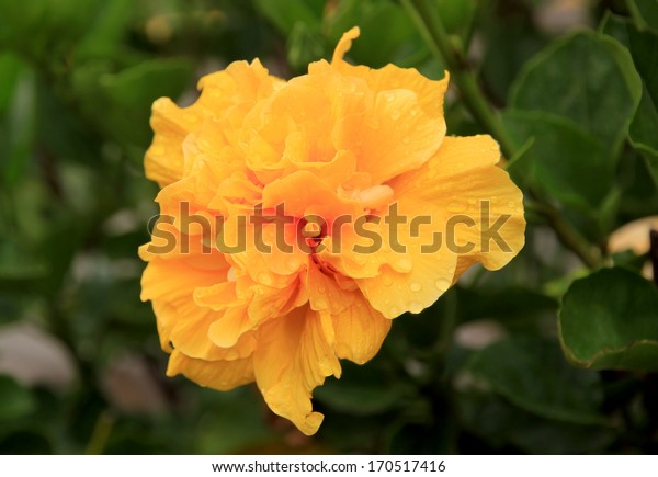 Yellow Double Hibiscus Flower