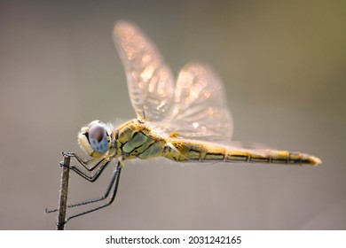 Yellow Dragonfly with the grenn background close up