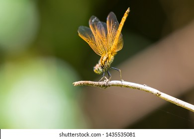 Yellow dragonfly perch on dry branch with blurred background at Khao Yai National Park, Thailand