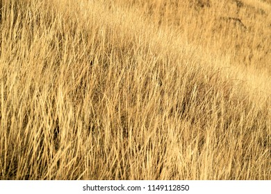 yellow dry grass texture view at an angle, remote plan