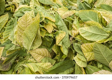 yellow dry tobacco leaves, closeup of photo