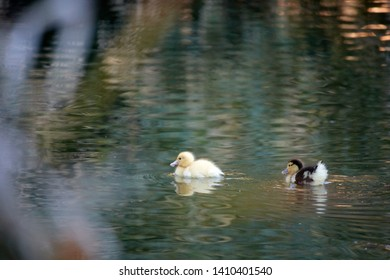 yellow duckling swimming in pond