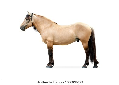 yellow dun belorussian driving horse isolated on white background