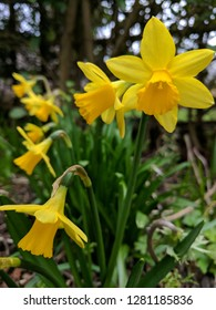 Yellow dwarf daffodil (narcissus) flower in an English garden. A very pretty spring winter/spring flowering herbaceous perennial plant