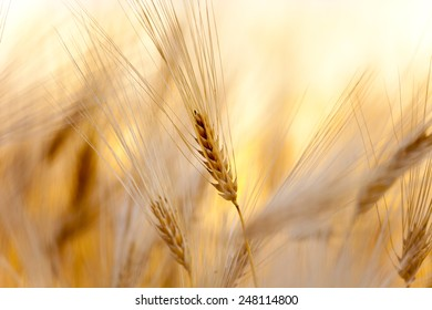 yellow ear of wheat on the field