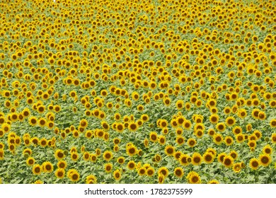 A yellow earth covered with so many sunflowers in full bloom