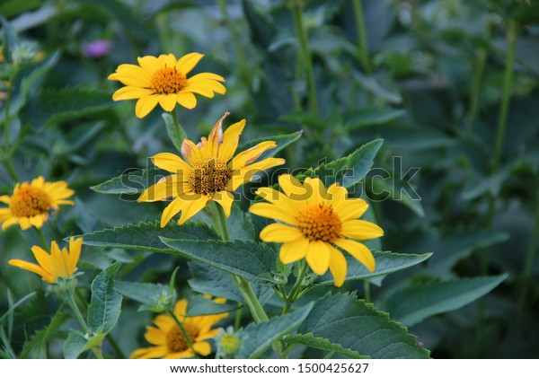 Yellow Echinacea Beautiful Flowers Beautiful Floral Stock Photo Edit Now 1500425627