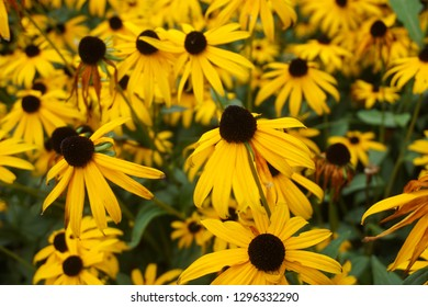 Yellow echinacea flowers. Leaves and flower petals are edible . Echinacea is also a  medical plant