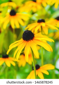 Yellow echinacea flowers on a green blurred background. Flowers with yellow petals for garden decoration. Floriculture and botany. Soft focus image.