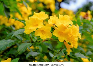 Yellow bell flowers images stock photos vectors shutterstock yellow elder yellow bells or trumpetflower scientific name istecoma stans mightylinksfo