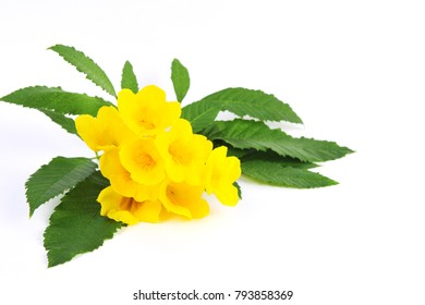 Yellow Elder Flower,Yellow elder, Trumpetbush, Trumpetflower, Yellow trumpet-flower, Yellow trumpetbush,tecoma stans - white background