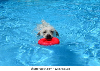 English Labrador Images, Stock Photos & Vectors | Shutterstock