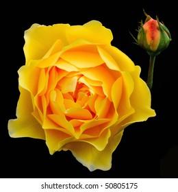 Yellow English Rose (Rosa) - Rosaceae