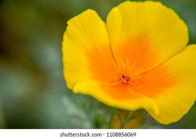 Yellow eschscholzia on the meadow closeup