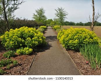 Yellow Euphorbias flowering beside a surfaced path