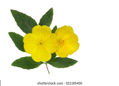 Yellow Evening Primrose (Oenothera fruticosa) flower and leaf isolated on white background