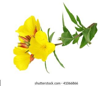yellow evening primrose Sundrop oenothera fruticose flower isolated on white