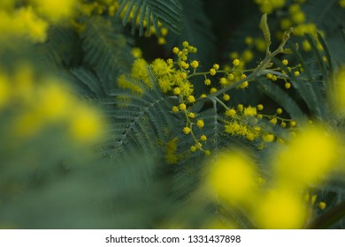 Yellow everywhere on this shot of mimosa blooming in the sping, Shallow yellow flowers in the front of this colourfull image.