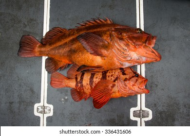 A Yellow Eye Rockfish and a Tiger Rockfish  side by side.
