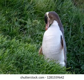 Yellow Eyed Penguin, Otago Peninsula, South Island, New Zealand