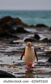 Yellow eyed penguin - rarest penguin on the planet