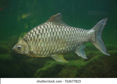 Yellow eyed silver barb (Hypsibarbus pierrei), also known as the diamond barb.