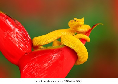 Yellow Eyelash Palm Pitviper, Bothriechis schlegeli, on the red wild flower. Wildlife scene from tropic forest. Bloom with snake in America. Wildlife Poison danger viper from Costa Rica.